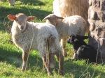 les brebis ne sont pas des moutons